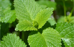 The Amazing Reasons Lemon Balm Extract Could Change Your Life