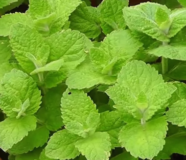 Discover the Condition Peppermint Oil Might Be Able to Treat