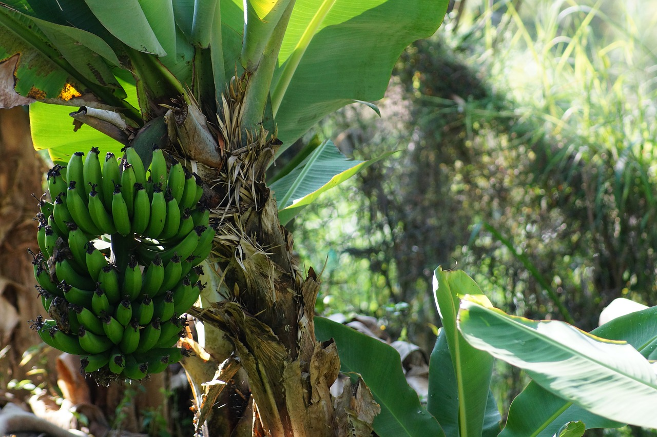 Why Plantains are An Amazing Health Food