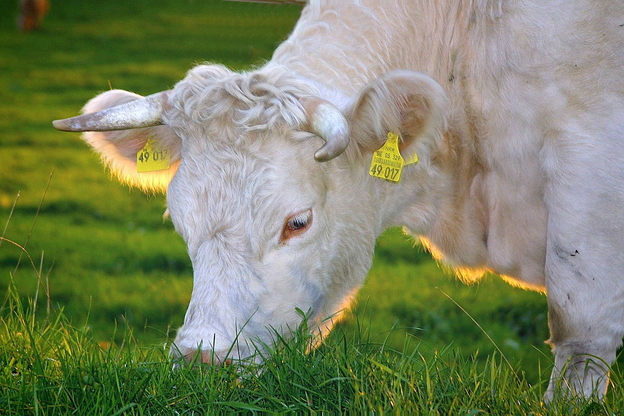 Is Grass-Fed Beef Really Worth the Price?